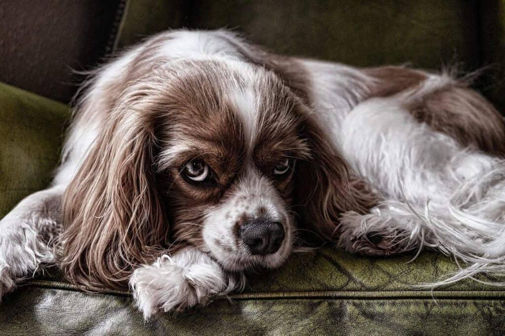 Chienne couchée sur le sofa