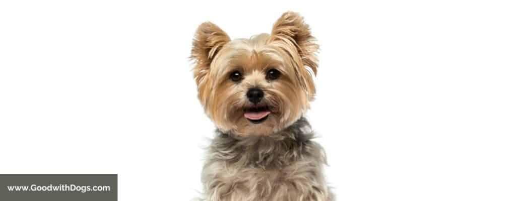 Qu'est-ce qu'un Yorkshire Terrier ?